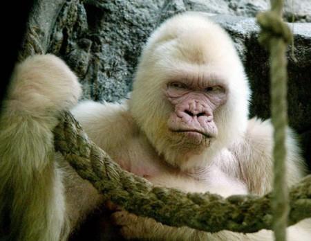 Bílá gorila