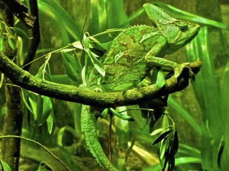 Maskovaný chameleon