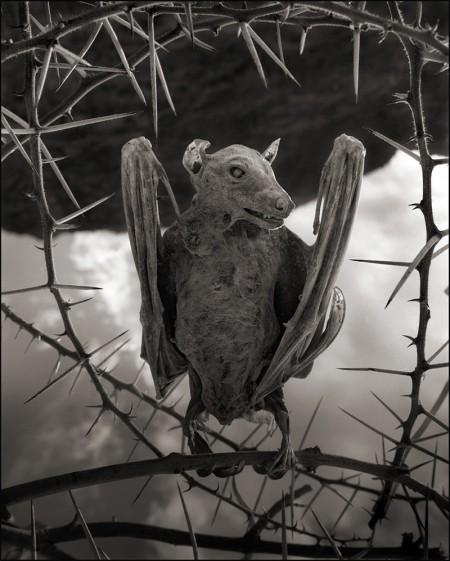 Oběť slaného jezera v Tanzánii - netopýr