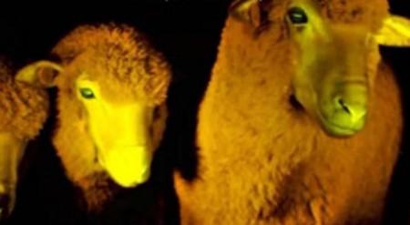 Modifikované ovce s proteinem z medůz