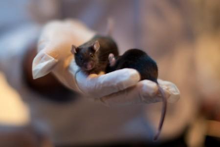 Laboratorní myši