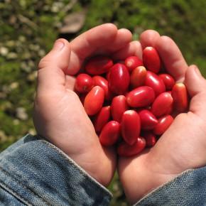 Miracle Berry - africká bobule, která mění chutě kyselého v dokonalost