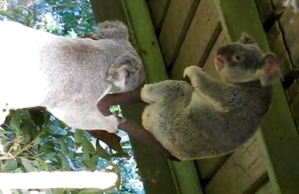 Když se rozzuří koaly