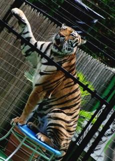 Cirkusový tygr