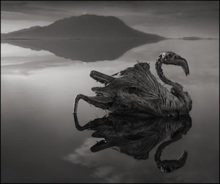 Oběť slaného jezera v Tanzánii - labuť